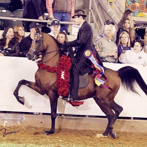 Arabian stallion, Afires Heir (Afire Bey V x Brassmis)