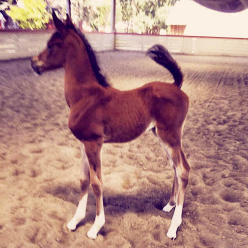 Arabian filly American Sparkle by H Mobility H