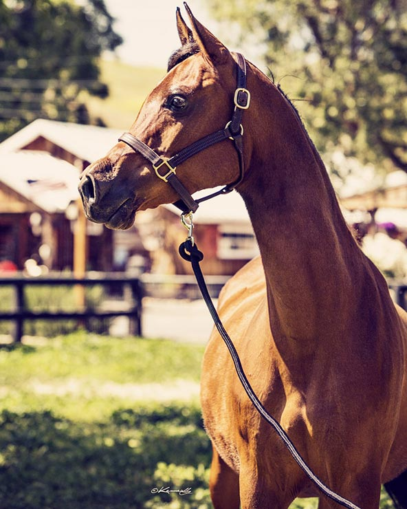 Arabian mare Ematina