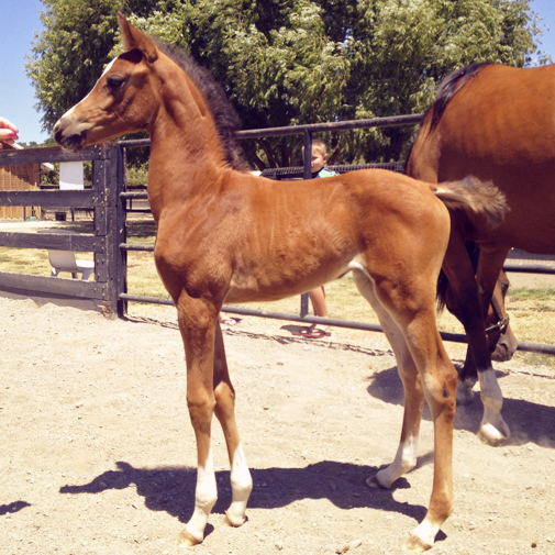 Arabian filly Twinkle Toes S by IXL Noble Express