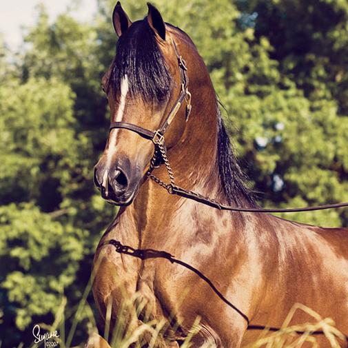 Arabian stallion Afire Bey V
