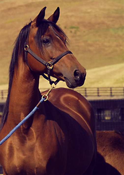 Arabian mare HL Justa Sparkle by The Chief Justice
