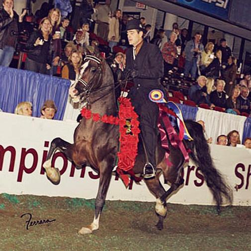 Arabian stallion IXL Noble Express