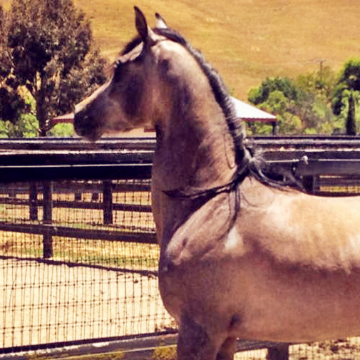 Nickletini (Nicklebey Berry x CF Patina) 2011 Grey Filly