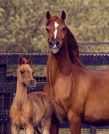 Arabian mare Plumeria S by Le Fire