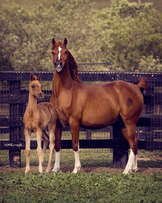 Plumeria S with her 2014 filly, Sunstruck (sired by HA Toskcan Sun).