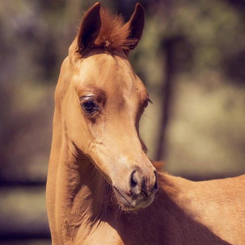 Arabian filly Sunstruck by HA Toskcan Sun