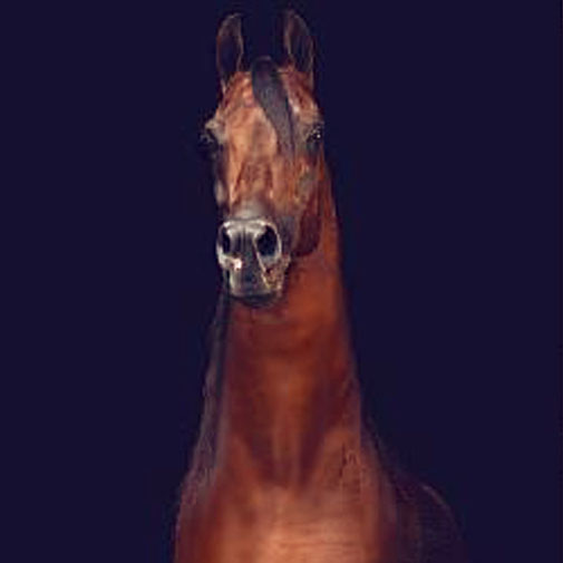 GG Jabask Arabian stallion