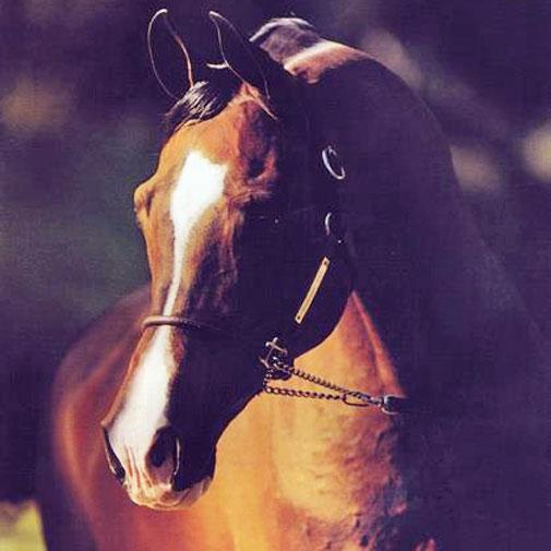 Khemosabi Arabian stallion