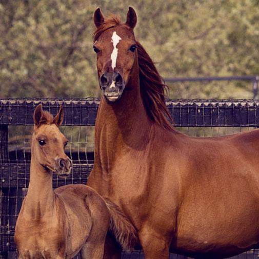 Plumeria S Arabian mare