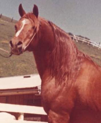 *Serafix Arabian stallion