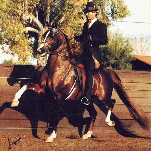 Zodiac Matador Arabian stallion